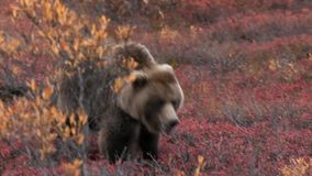 Alaska Grizzly Bear or Brown Bear in the wild.