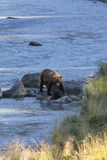 Alaska grizzly bear strides in sunshine along river Stock Images