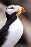 Alaska - havsliv centrerar ståenden för den Horned puffinen arkivfoto
