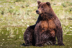 Alaska Huge Brown Grizzly Bear Sitting Stock Photo