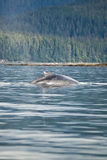 Alaska - Humpback Whale - Detail Stock Photography