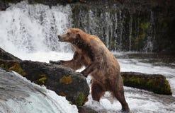 alaska katmai niedźwiadkowy obrazy royalty free