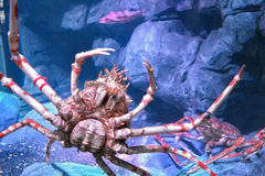 Alaska King Crab Stock Image