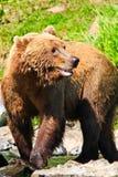 Alaska - Krachtige Bruine Grizzly Stock Afbeelding