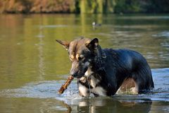 Alaska-malamute playing and relaxing in the water. Of a beautiful lake in gent Stock Photography