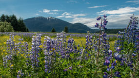 Alaska meadow and mountains. Purple nootka lupines and a blue Alaska sky frame mountains outside Juneau. Even in June there is snow on the peaks Royalty Free Stock Photo