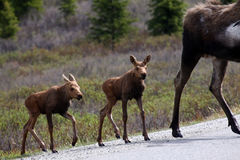 Alaska Moose Babies in Denali National Park Royalty Free Stock Photo
