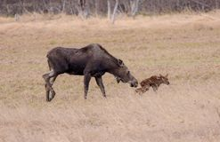 Alaska Moose Calve first step