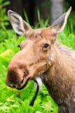 Alaska Moose Cow Stock Image