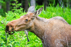 Alaska Moose Feeding Stock Photography