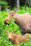 Alaska Moose and Young Calf Feeding