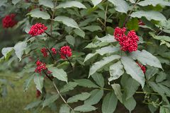 Alaska Mountain Ash Berries royalty free stock photography