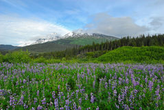 Alaska Mountains and Wildflowers Stock Photography