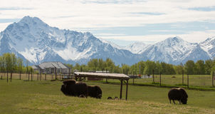 Alaska Musk-Ox and Mountain royalty free stock images
