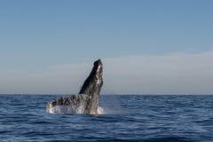alaska narusza frederick humpback sw wieloryba dźwięk zdjęcia royalty free
