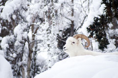 Alaska Native Animal Wildlife Dall Sheep Resting Laying Fresh Sn Royalty Free Stock Photography
