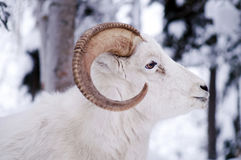 Alaska Native Animal Wildlife Dall Sheep Standing in Fresh Snow Stock Photos