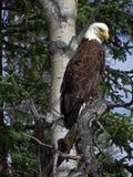 Alaska - parque nacional Eagle de Denali en un árbol imagenes de archivo