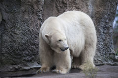 Alaska, polar bear. Big white bear in the spring in the forest . Polar bear is in Alaska, rocks, grass, cold spring. Big white bear in the spring in the forest Royalty Free Stock Image