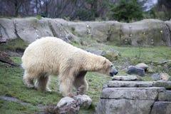Alaska, polar bear. Big white bear in the spring in the forest . Polar bear is in Alaska, rocks, grass, cold spring. Big white bear in the spring in the forest Stock Photography