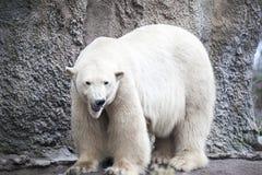 Alaska, polar bear. Big white bear in the spring in the forest . Polar bear is in Alaska, rocks, grass, cold spring. Big white bear in the spring in the forest Royalty Free Stock Photo