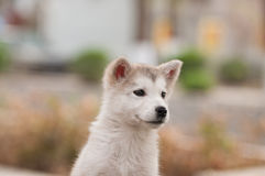 Alaska Puppies Royalty Free Stock Images