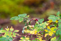 Alaska Red Berry and Forest Undergrowth. A beautiful red coloured edible berry grows on a spikey green plant in Alaska Royalty Free Stock Photo