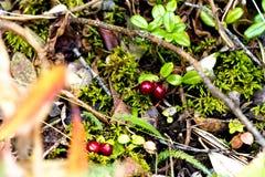 Alaska Rood Berrys en Forest Undergrowth Royalty-vrije Stock Afbeeldingen