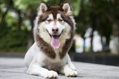 Alaska sania pies zdjęcia stock