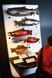 Alaska Sea Life Center Pacific Salmon Display. A display showing the five species of Pacific salmon - King, Chum, Coho, Sockeye and Pink - that are found in Royalty Free Stock Photo