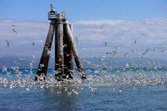 Alaska Seascape: Sea, Sky and Birds Homer AK. Kittiwake birds in feeding frenzy in Kachemak Bay, Homer Spit, Alaska Royalty Free Stock Images