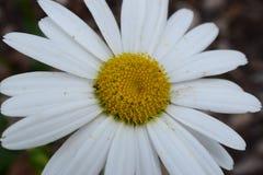 Alaska Shasta Daisy Flower Bloom. Large Alaska Shasta Daisy Flower Bloom royalty free stock photography