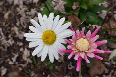 Alaska Shasta Daisy and Pink Dahlia. Flower blooms Royalty Free Stock Photography