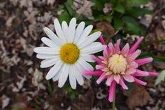 Alaska Shasta tusensköna och rosa färgdahlia Royaltyfri Fotografi