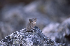 Alaska - Shrew Stock Images