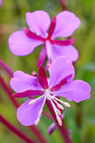 Alaska State Flower Pink Red Fireweed Bloom Royalty Free Stock Photos
