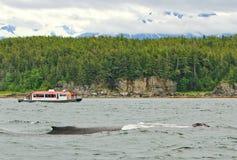 Alaska - stort puckelryggval för litet fartyg Royaltyfri Bild