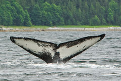 Alaska Tail of Humpback Whale Flame. The unique underside pattern of the tail fluke of a Humpback whale named Flame off of Shelter Island near Juneau, Alaska as Stock Photography