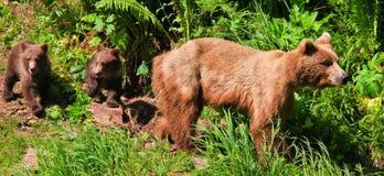 Alaska vaken brun Grizzlybjörn med tvilling- gröngölingar Royaltyfri Foto