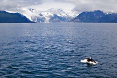 Alaska View. Orca in the Alaska waters Royalty Free Stock Photo