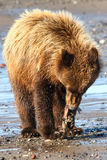 Alaska Young Brown Grizzly Bear Eating Fish Stock Photos