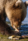 Alaska Young Brown Grizzly Bear Eating A Fish Royalty Free Stock Photo