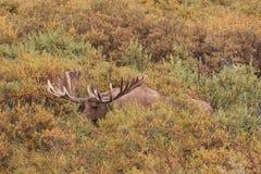 Alaska Yukon Bull Moose Feeding Royalty Free Stock Photography
