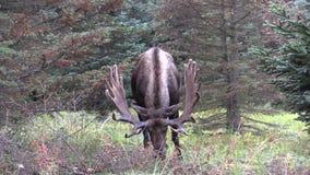 Alaska Yukon Bull Moose in Velvet. A bull alaska yukon moose in velvet stock footage