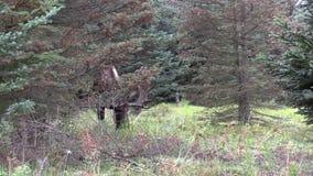 Alaska-Yukon Bull Moose in Velvet. A bull alaska yukon moose in velvet stock video