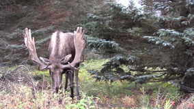Alaska Yukon Bull Moose in Velvet stock video