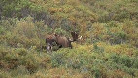 Alaska-Yukon Bull Moose in Velvet. A big bull Alaska Yukon moose in velvet in Denali National Park stock footage