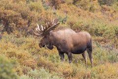 Alaska Yukon Bull Moose in Velvet Stock Photos
