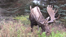 Alaska Yukon Bull Moose in Velvet Grazing stock footage