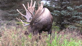Alaska Yukon Bull Moose in Velvet stock footage